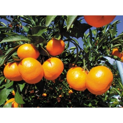 【定期便(5回発送)】果物定期便A(みかん・ネーブル・デコポン・あまおう・ニューサマーオレンジ)
