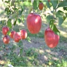 信州のりんご おまかせ 約5キロセット