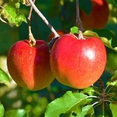 信州のりんご おまかせ 約5kgセット