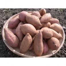 あま~い!「安納芋」約3kg A133