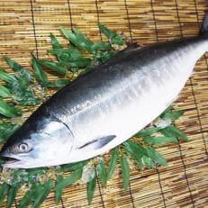 『希少・天然』時知らず鮭3kg前後特大