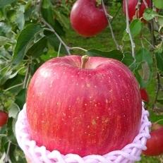 【青森県南部地方りんご】 サンふじ 大玉 約5kg