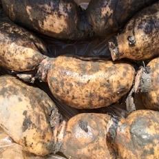 """農薬を極力抑えた、微生物農法で育てられた""""採れたて白石れんこん"""""""