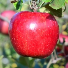 りんご「サンふじ」14~18玉(約5kg)