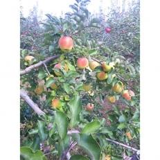 長野県須坂市産りんご「ぐんま名月」約3kg