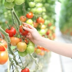 四万十育ちの中玉トマト!旨味とコクの「ロッソリッチ」4kg