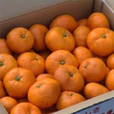 【農家直送・数量限定】濃厚な甘さが自慢の「温州みかん(青島)」10kg