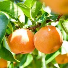 【予約受付開始】本当に甘い梨です!信州が生んだ甘い【南水】約 5キロセット!