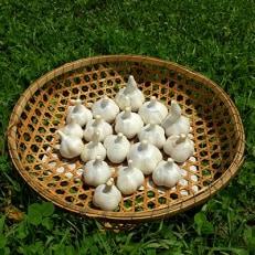 にんにく【福地ホワイト六片種】合計1.5kgの詰め合わせ(サイズ混合1kgとばらし500g)