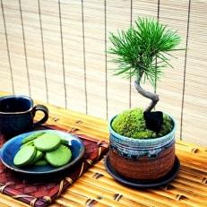 黒松盆栽&抹茶クッキーセット