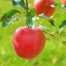 信州のりんご シナノスイート 5キロセット