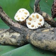 【栽培期間中農薬不使用】奈良県山添村産 掘りたて土付きレンコン詰め合わせ2kg