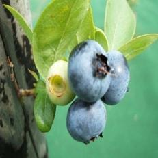 冷凍ブルーベリー2kg(1kg×2袋)「青森県東通村産」