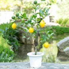 おしゃれなガーデニング果樹・レモンの木