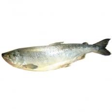 新巻鮭約2.3kg切り身姿づくり