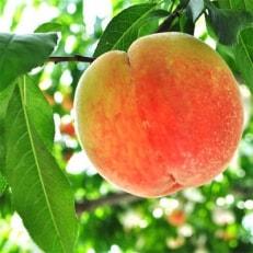 2020年7月上旬より順次発送【夏の美味】フルーツ王国 和歌山の桃 約2kg