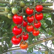 【高知県産】フルーツトマト約1.3kg 糖度8 岡山淳風会タニタ食堂に採用されています