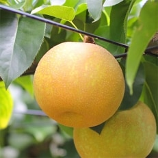 【長野県産】シャリっと瑞々しい梨(幸水・豊水)約3kg 秀品