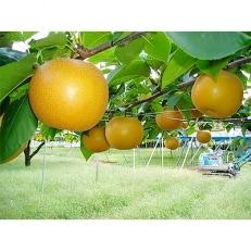 ホウナンの梨(あきづき)約5kg(10~16玉)