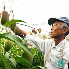 マンゴー栽培の第一人者「庄野さん」の完熟指宿産マンゴー(2~3玉800g前後)
