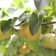 長野県産 溢れる果汁 ジューシーな梨(幸水・豊水)約5キロ 秀品<2020年8月上旬~9月末発送>
