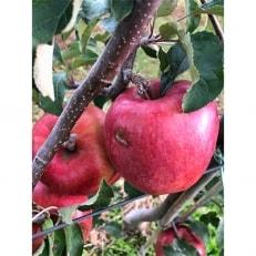 【傷等訳あり】甘い!希少!りんご あいかの香り 5キロセット