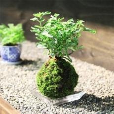 赤松種苗「ふるさと寄付金オリジナル記念品」苔玉講習会参加引換券
