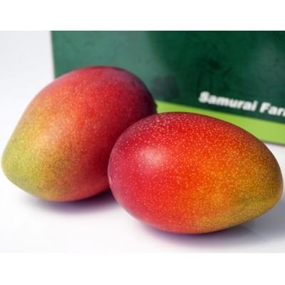 鉢植栽培 西都産完熟マンゴー L×2個[1605]