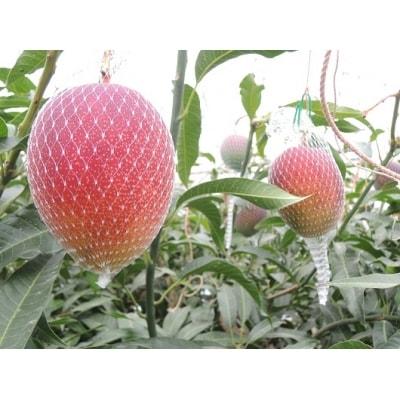 【家庭用】くるめで育った完熟マンゴー(2~3個)