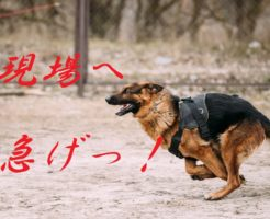 Fast running German Shepherd Dog at training. Alsatian Wolf Dog. GSD.