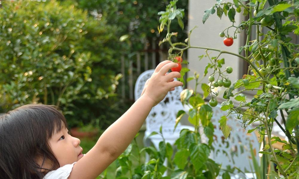「ベランダ菜園」で、節約と満足と充実感を達成できます