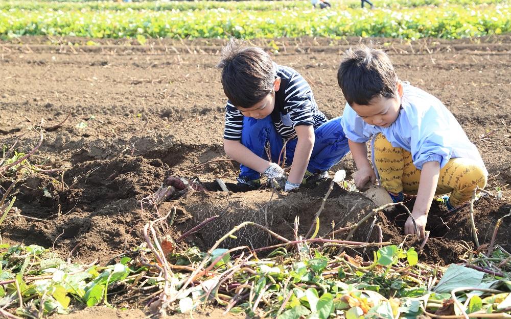幼稚園や保育園で、大根ほりや土づくりのお手伝い